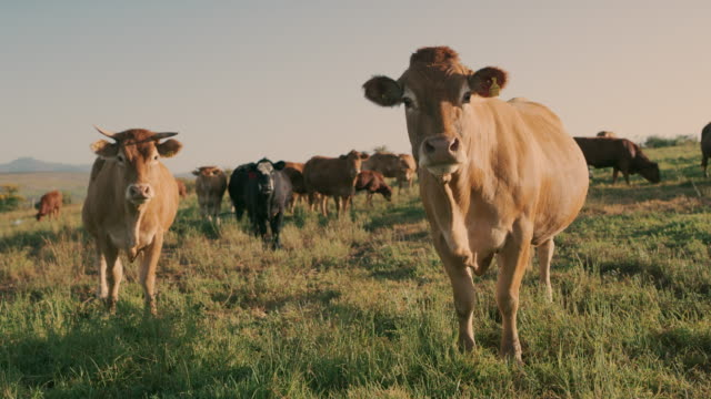 cows are very curious and perceptive beings - livestock stock videos & royalty-free footage