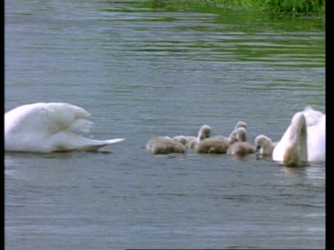 MS cows asleep in field, tilts down to Mute Swans, Cygnus olor, with cygnets on river, adults dip for food, United Kingdom