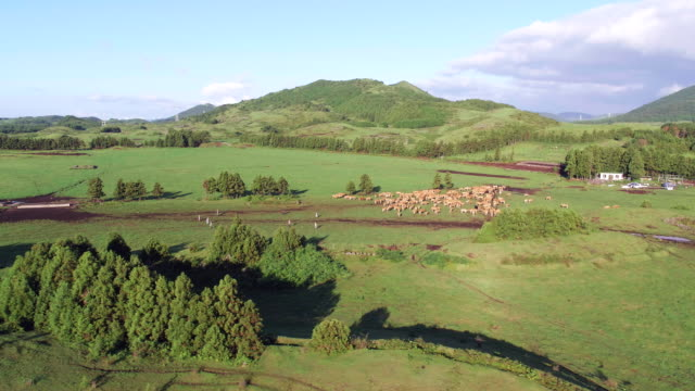 cows at a communal ranch in hadori village, jeju island - pasture stock videos & royalty-free footage