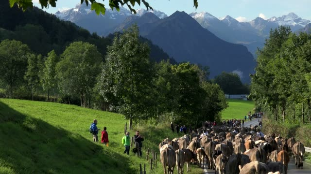 cows at almabtrieb, cattle drive from the summer mountain pastures, schoellang near oberstdorf, allgaeu, swabia, bavaria, germany - baviera video stock e b–roll