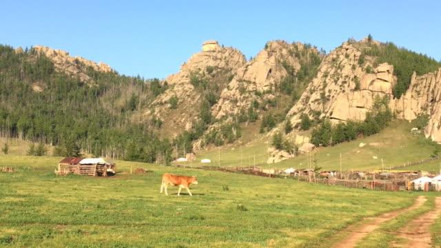 vídeos de stock e filmes b-roll de cows at gorkhi-terelj national park mongolia - ulan bator