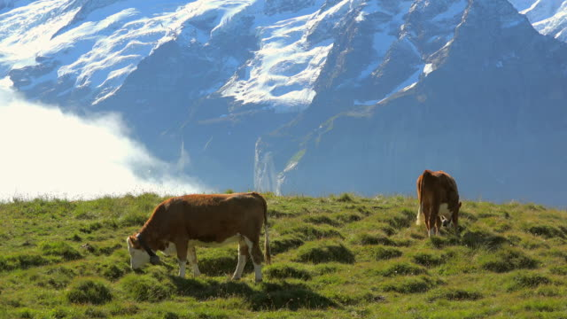 cows at grindelwald-first, bernese alps, switzerland, europe - 哺乳類点の映像素材/bロール