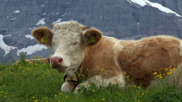 cows at kleine scheidegg, grindelwald, bernese alps, switzerland, europe - kauen stock-videos und b-roll-filmmaterial
