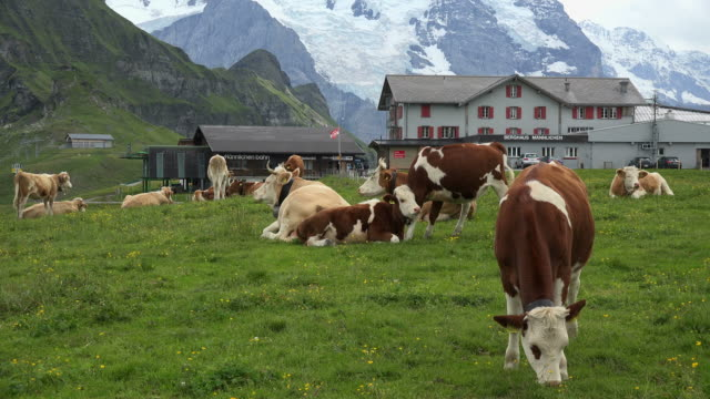 Cows at Kleine Scheidegg, Grindelwald, Bernese Alps, Switzerland, Europe