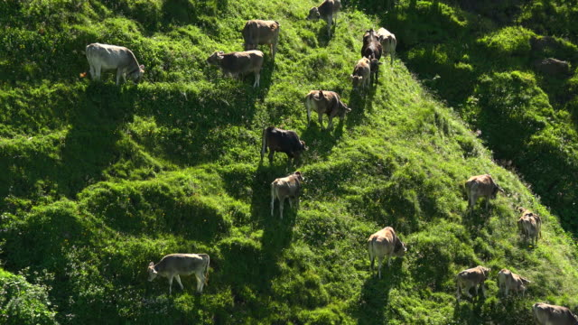 Cows at mountain pasture, Zeigersattel, Allgaeu Alps at Nebelhorn Area near Oberstdorf, Allgaeu, Swabia, Bavaria, Germany