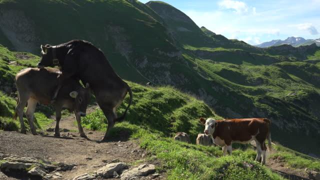 cows at mountain pasture, zeigersattel, allgaeu alps at nebelhorn area near oberstdorf, allgaeu, swabia, bavaria, germany - cow stock videos & royalty-free footage