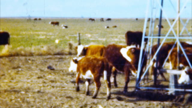 Cows at Pasture (Archival 1950s)