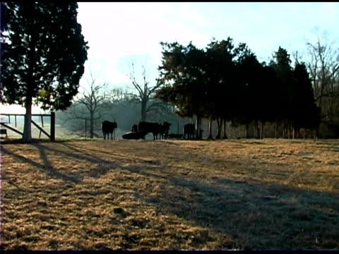 vidéos et rushes de cows at sunrise - groupe moyen d'animaux