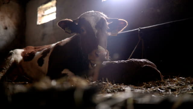 cows at the farmhouse - calf stock videos & royalty-free footage