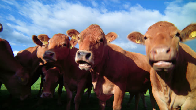 cows chew their cuds as they look straight ahead. - kauen stock-videos und b-roll-filmmaterial