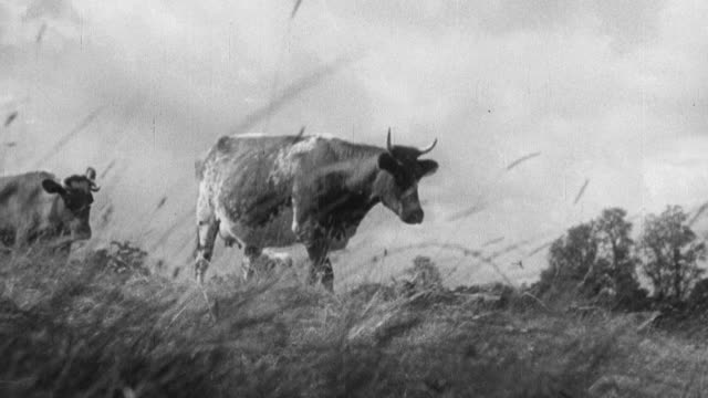 1933 montage cows coming home from pasture for milking, with a farmer herding them in / united kingdom - one teenage boy only stock videos & royalty-free footage