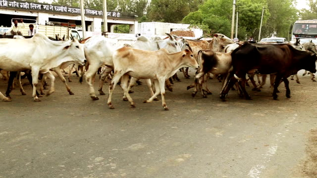 Cows Crossing the Road