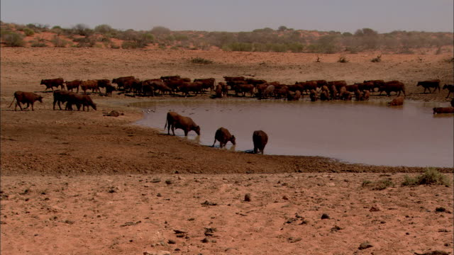 cows drink from a watering hole. - wasserloch stock-videos und b-roll-filmmaterial
