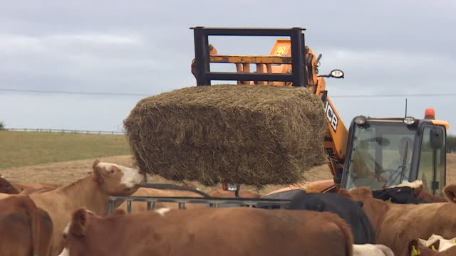 Cows eating baled feed during the UK heatwave