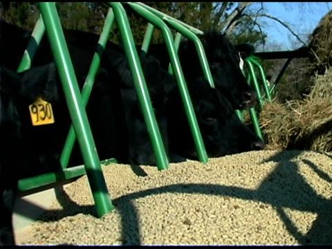 vidéos et rushes de cows eating grains - groupe moyen d'animaux