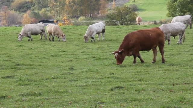 Vache la salle à manger de l'herbe.