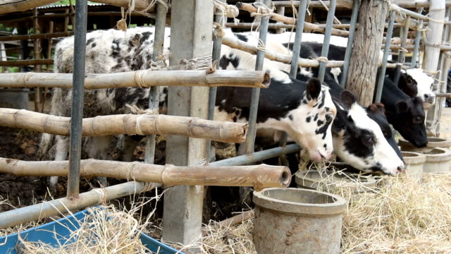 Cows eating straw in local farm in countryside of Thailand