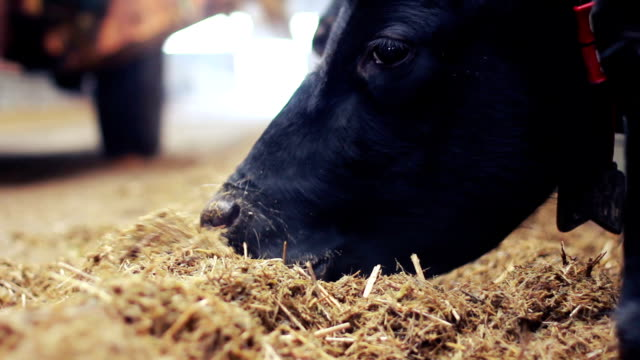 cows eating the hay in the barn - hay stock videos and b-roll footage