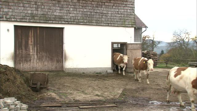 Cows exit from cattleshed on farm