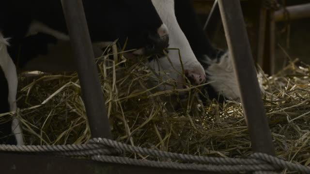 cows feed on hay, japan. - cattle点の映像素材/bロール