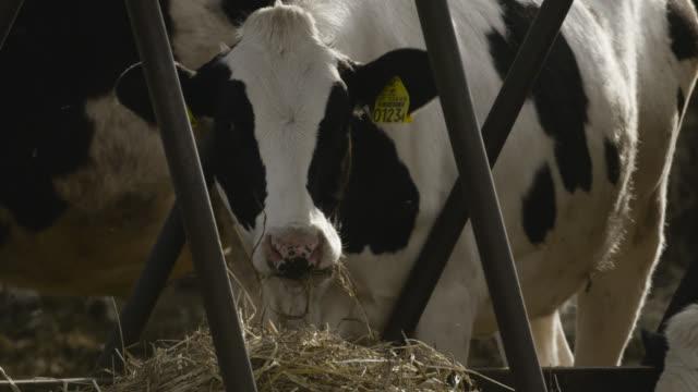 cows feed on hay, japan. - 家畜点の映像素材/bロール