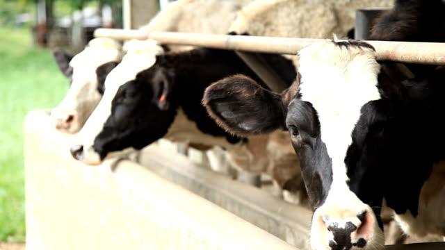 vídeos de stock e filmes b-roll de vacas de alimentação fornecida na caixa. - nariz de animal