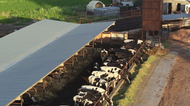vídeos de stock e filmes b-roll de cows feeding through fence on dairy farm - drone shot - rancho quinta