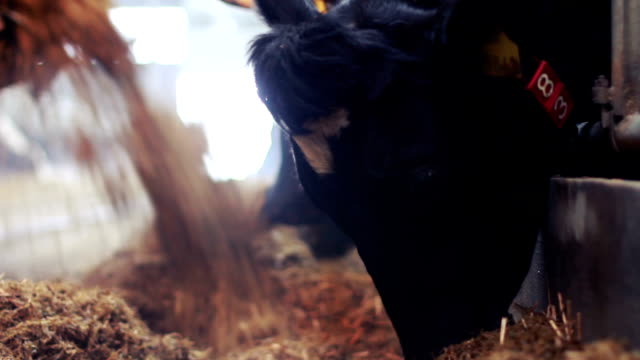 cows feeding - hay stock videos and b-roll footage