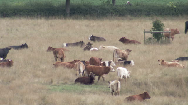 cows graze in a countryside field. available in hd. - grazing stock videos & royalty-free footage