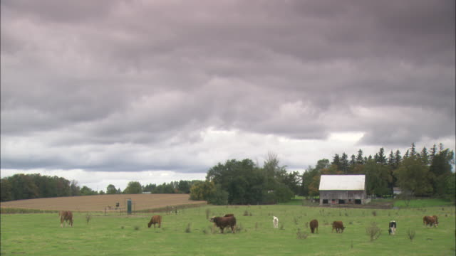 cows graze in a field beneath an overcast sky. - ontario canada stock videos & royalty-free footage