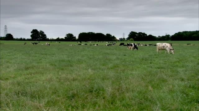 cows graze in a field. - field stock videos & royalty-free footage