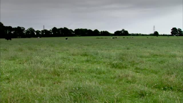 cows graze in a green meadow. - meadow stock videos & royalty-free footage