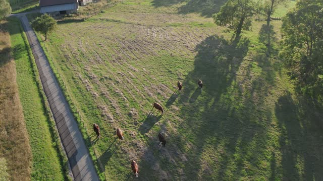 cows graze in the meadow. the view from the rising drone. the setting sun. - france stock videos & royalty-free footage