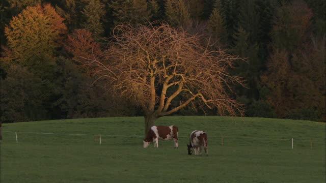 vidéos et rushes de cows graze on a green pasture. - switzerland