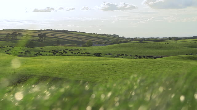 cows graze on grass in dairy pasture, cumbria, uk - livestock stock videos & royalty-free footage