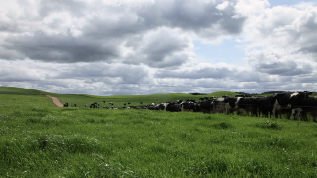 tl cows graze on grass in dairy pasture, cumbria, uk - grazing stock videos & royalty-free footage