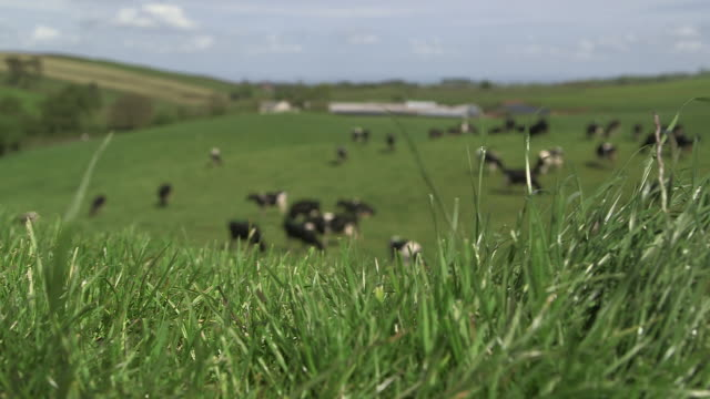 cows graze on grass in dairy pasture, cumbria, uk - cattle stock videos & royalty-free footage