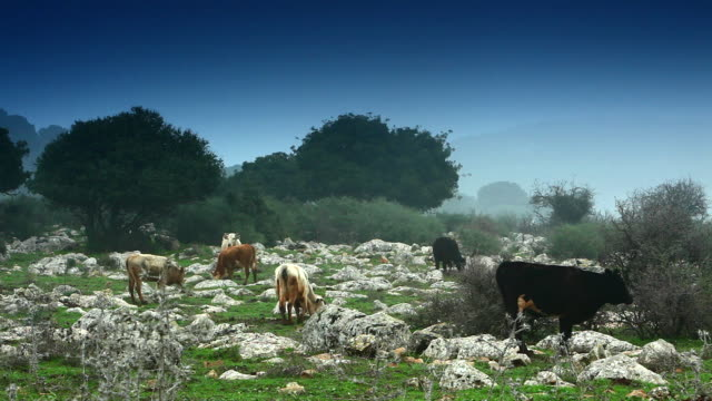 Cows graze on rocky pasture.