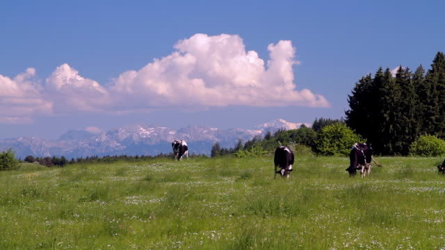 Cows graze on the foothills of the Alps.