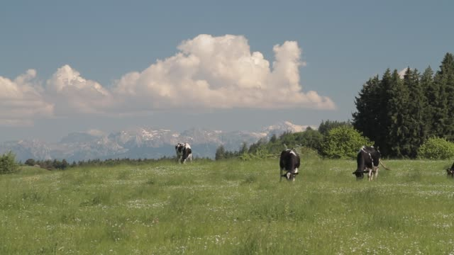cows graze on the foothills of the alps. - foothills stock videos & royalty-free footage