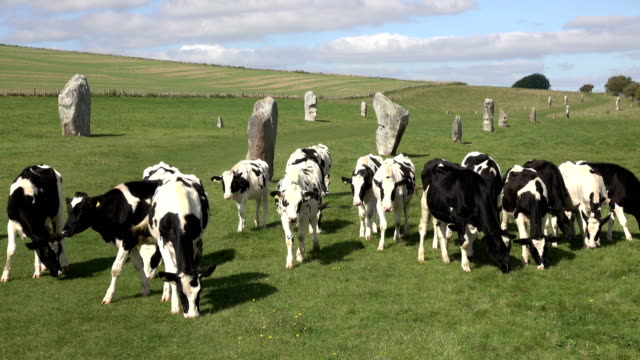 cows graze walk kennet avenue towards ancient prehistoric avebury stone circle - obelisk stock videos & royalty-free footage