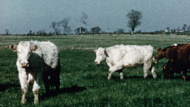 1975 pan cows grazing and eating grass on a large field at a farm / united kingdom - 1975 stock videos and b-roll footage