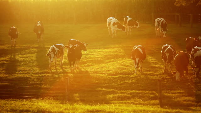 cows grazing as dusk - cattle stock videos & royalty-free footage