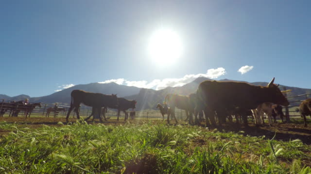 cows grazing in a corral - western usa stock videos & royalty-free footage