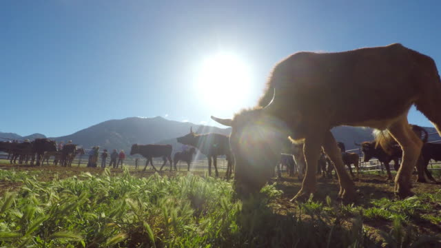 cows grazing in a corral - corral stock videos & royalty-free footage