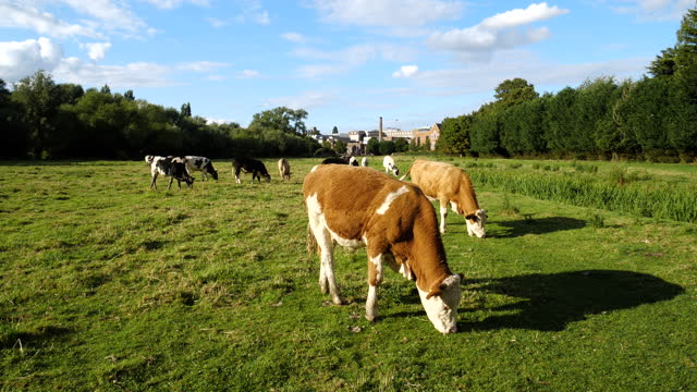 cows grazing in a meadow on a sunny day - domestic animals stock videos & royalty-free footage