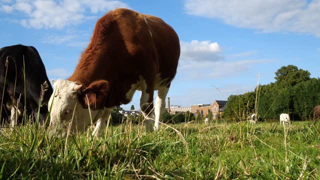 牧草地での牛の放牧 - 食糧を捜す点の映像素材/bロール