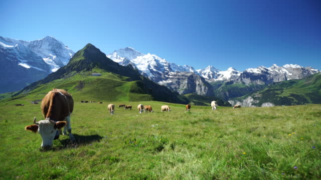vídeos de stock e filmes b-roll de cows grazing in alpine meadow under snowcapped mountains - suíça