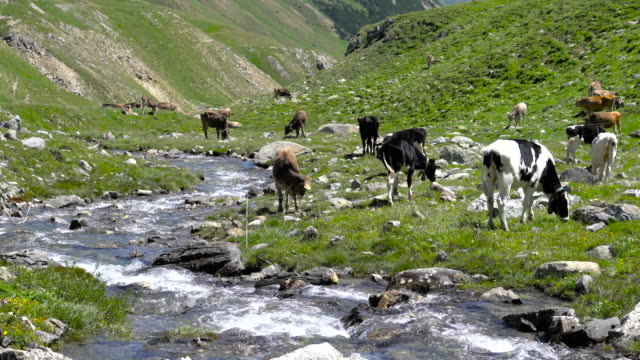 cows grazing in an alpine meadow - bach stock-videos und b-roll-filmmaterial