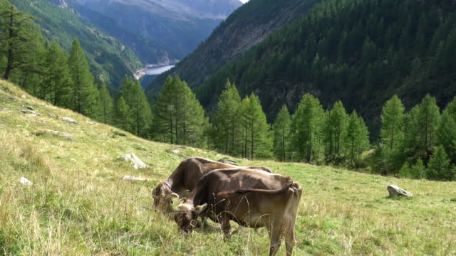 cows grazing in an alpine pasture - escapism stock videos & royalty-free footage
